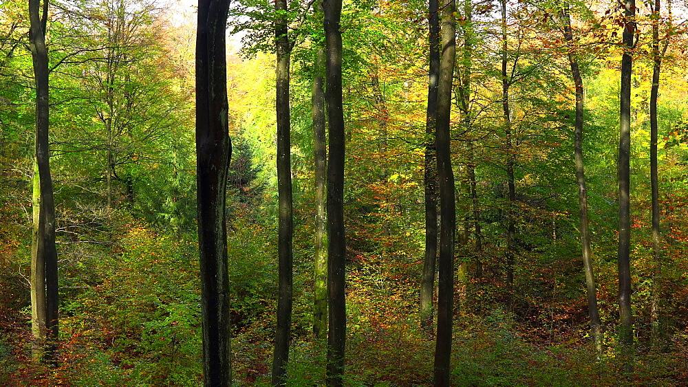 Autumn beech forest - 396-7744