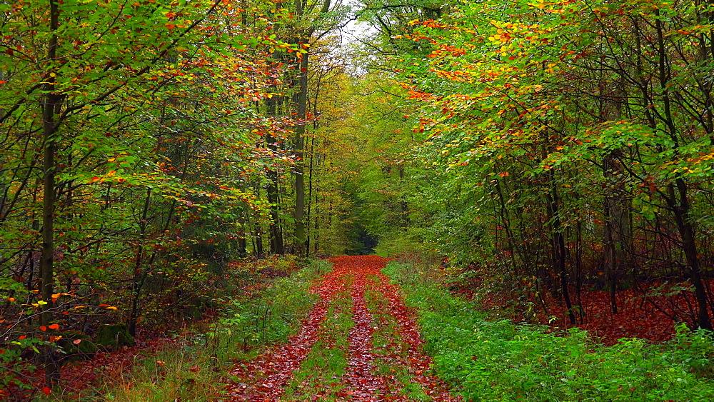 Autumn beech forest - 396-7745
