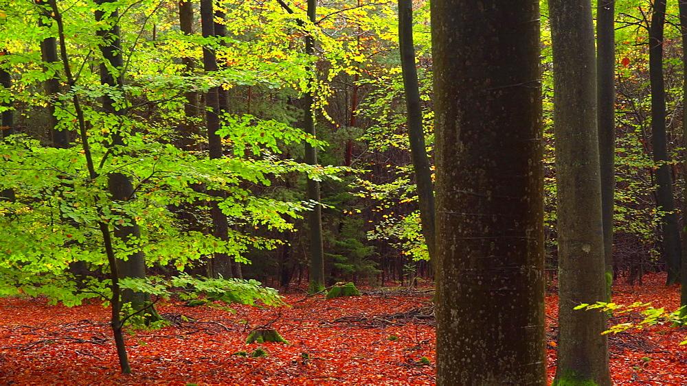 Autumn beech forest, Freudenburg, Rhineland-Palatinate, Germany, Europe