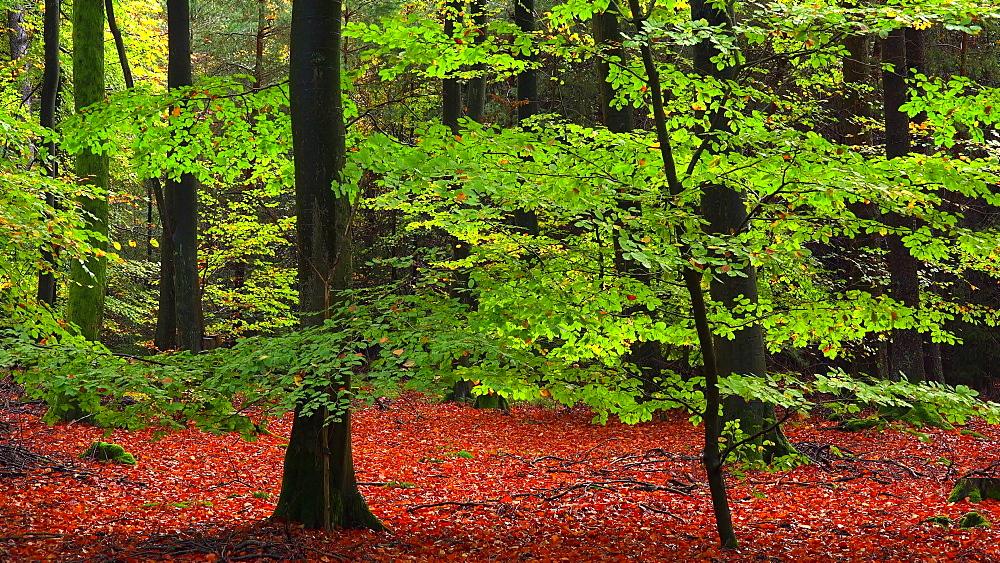 Autumn beech forest - 396-7747