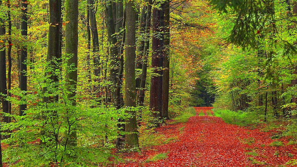 Autumn beech forest - 396-7748