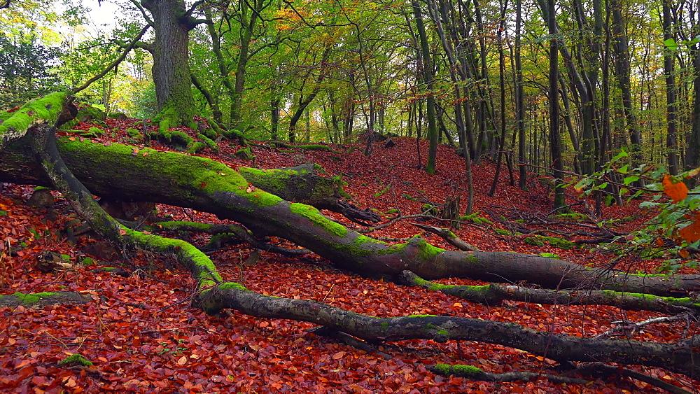 Dead wood in beech forest - 396-7749