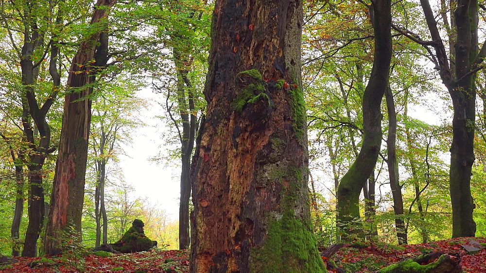 Dead wood in beech forest - 396-7750