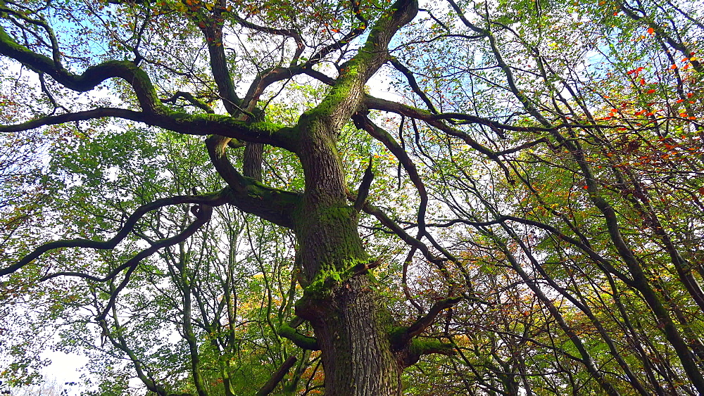 Oak tree in autumn forest - 396-7751