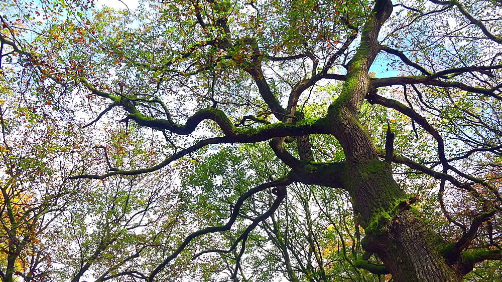 Oak tree in autumn forest - 396-7752