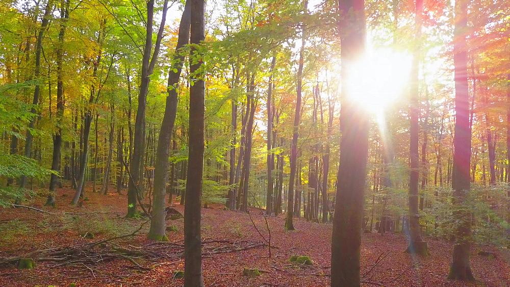 Flight through an autumn beech forest - 396-7763