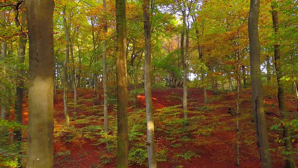Flight through an autumn beech forest, Kastel-Staadt, Rhineland-Palatinate, Germany, Europe