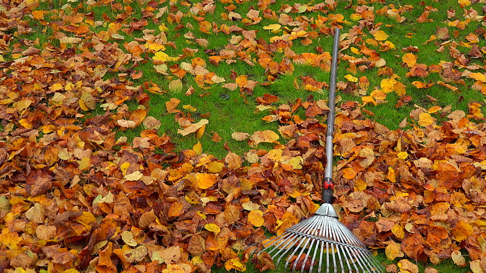Autumn foliage and rake on meadow - 396-7782