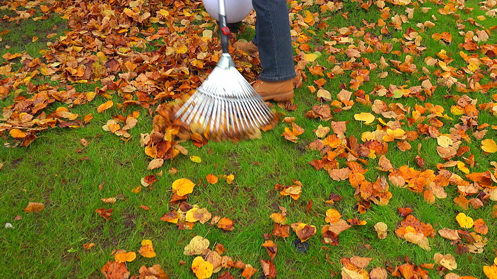 Raking autumn leaves from meadow - 396-7784