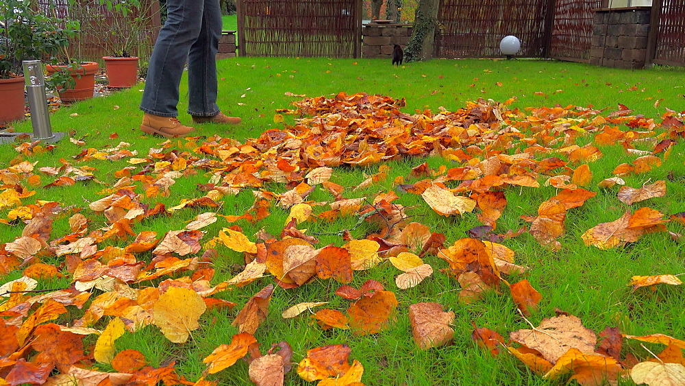 Raking autumn leaves from meadow - 396-7785