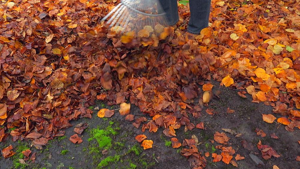 Raking autumn leaves - 396-7788