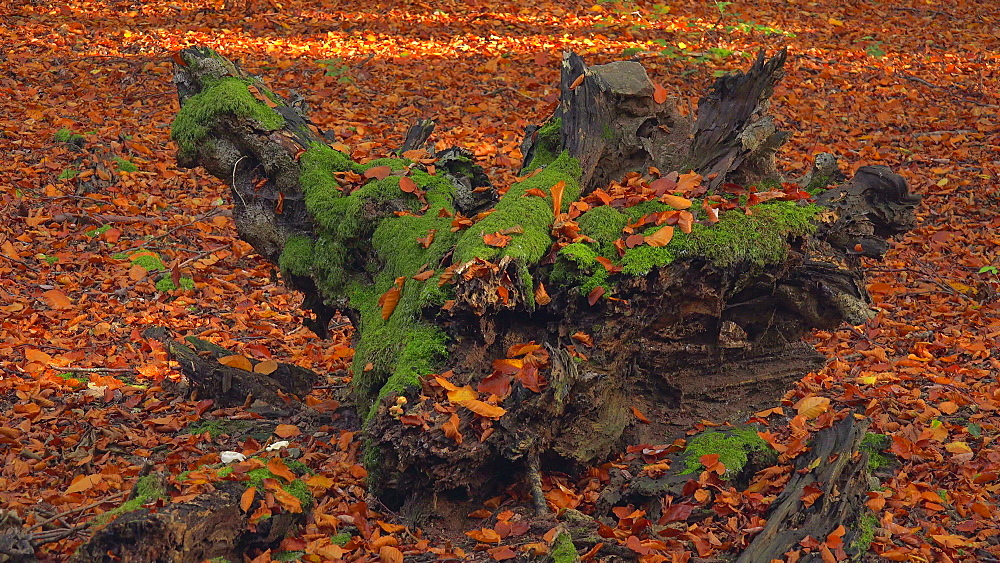 Dead wood in autumnal forest - 396-7791