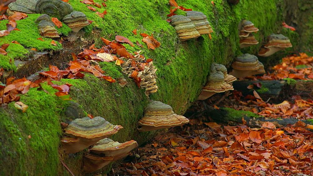 Tree mushrooms on deadwood - 396-7793