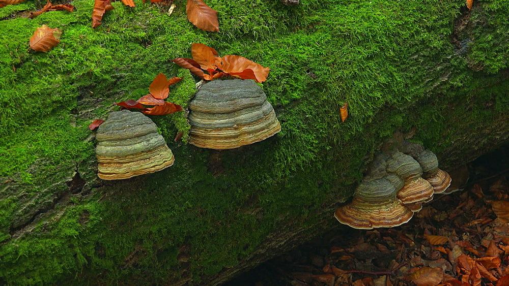 Tree mushrooms on deadwood - 396-7794