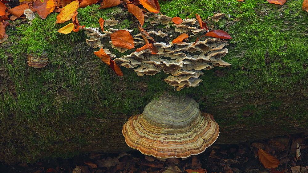 Tree mushrooms on deadwood - 396-7795