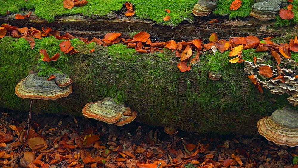 Tree mushrooms on deadwood - 396-7796