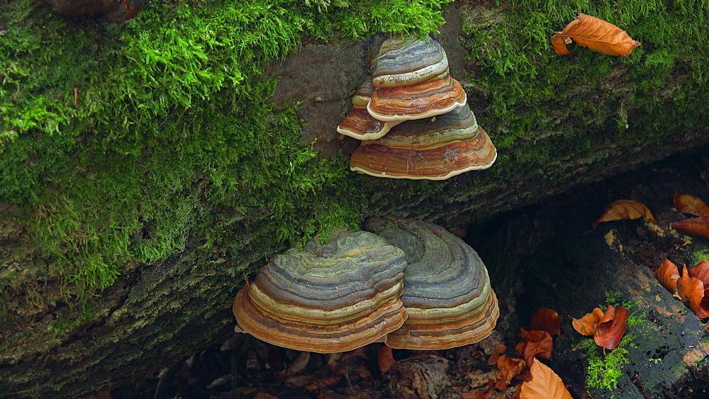 Tree mushrooms on deadwood - 396-7797