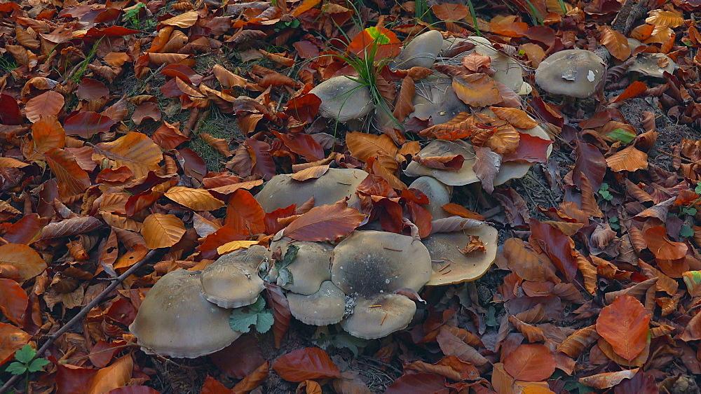 Wild mushrooms and autumn foliage - 396-7798