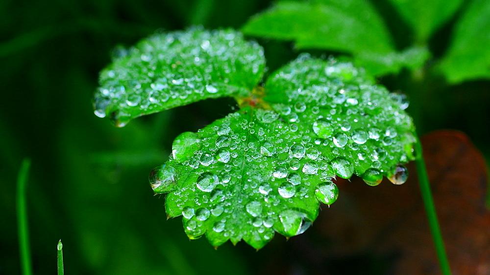 Dew drops on leaf - 396-7806