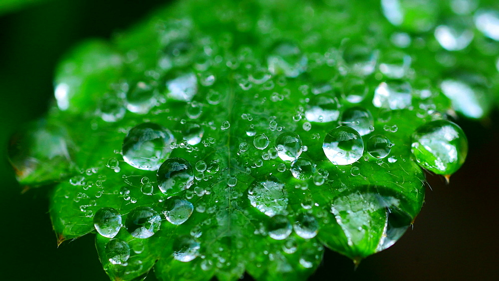 Dew drops on leaf - 396-7807