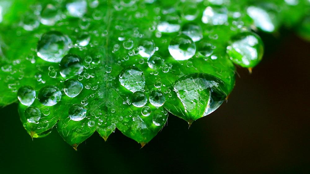 Dew drops on leaf, Freudenburg, Rhineland-Palatinate, Germany, Europe