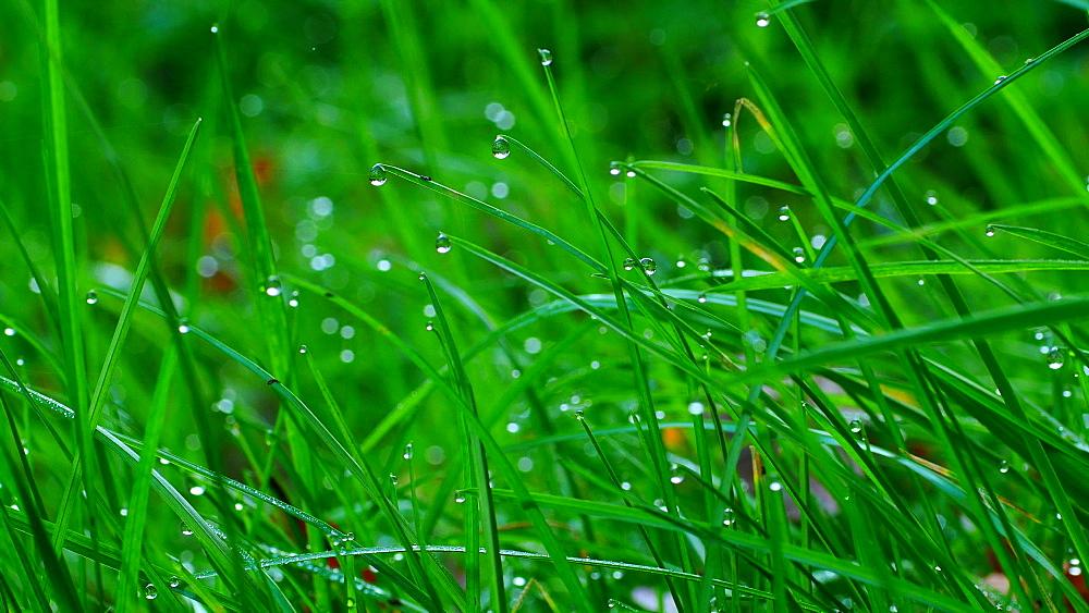 Dew drops on culm, Freudenburg, Rhineland-Palatinate, Germany, Europe