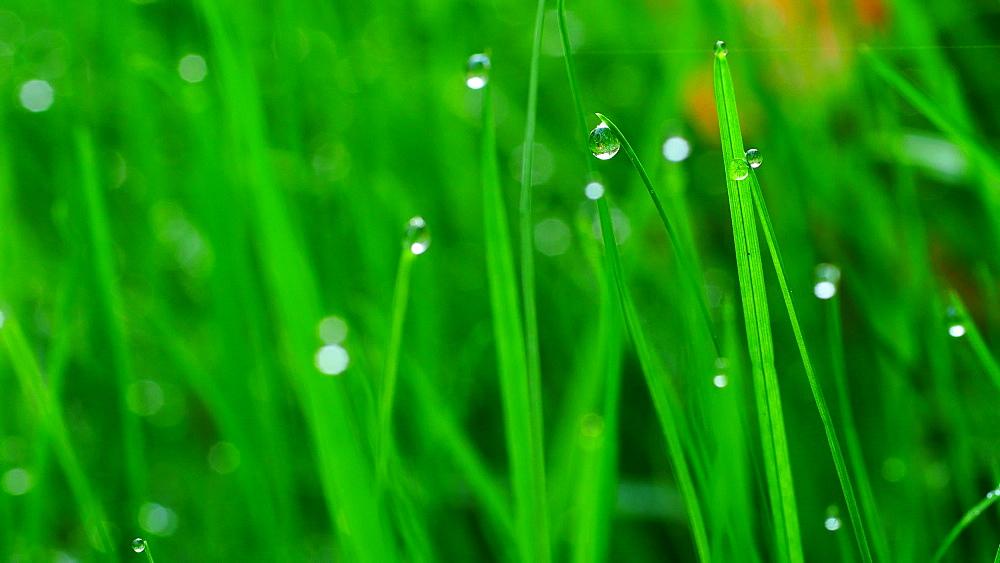 Dew drops on culm - 396-7813