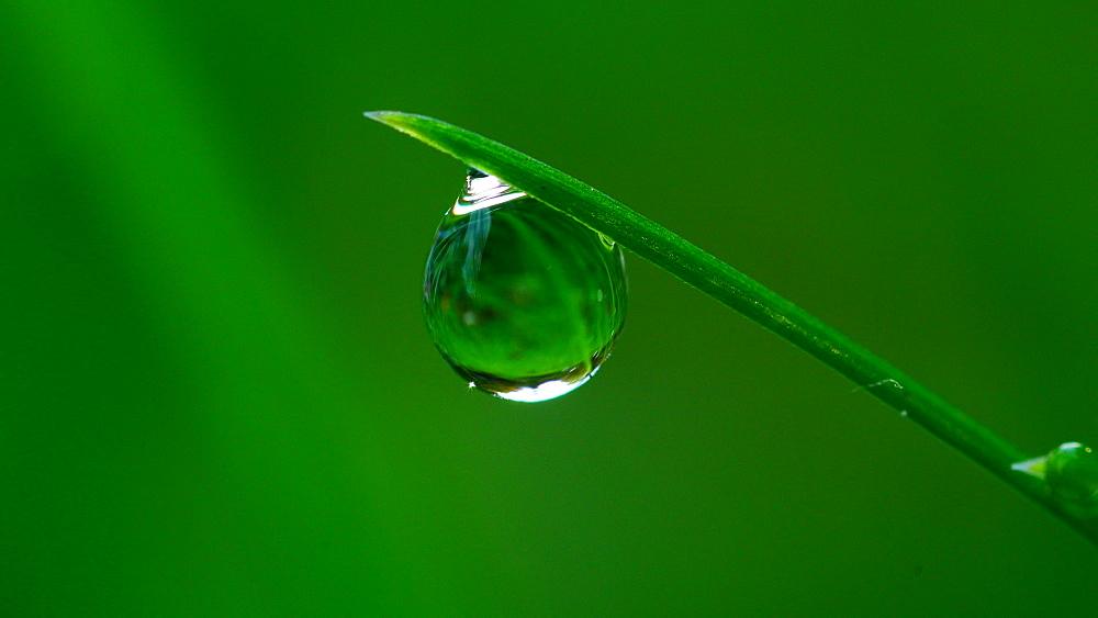 Dew drops on culm - 396-7814