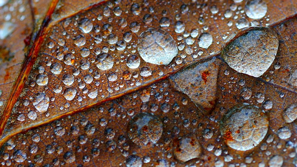 Dew drops on leaf - 396-7818