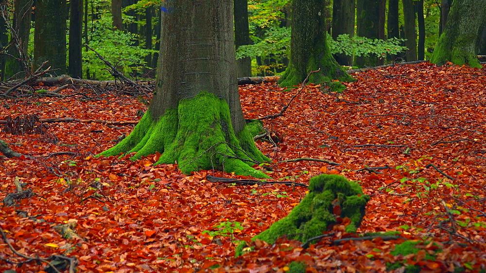 Autumn beech forest - 396-7821