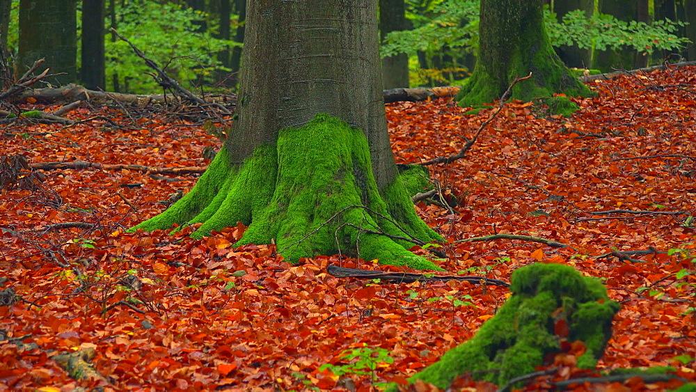 Autumn beech forest - 396-7822