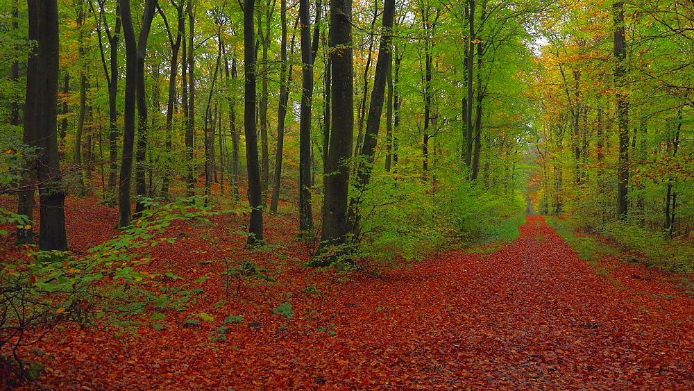 Forest track in beech forest - 396-7825