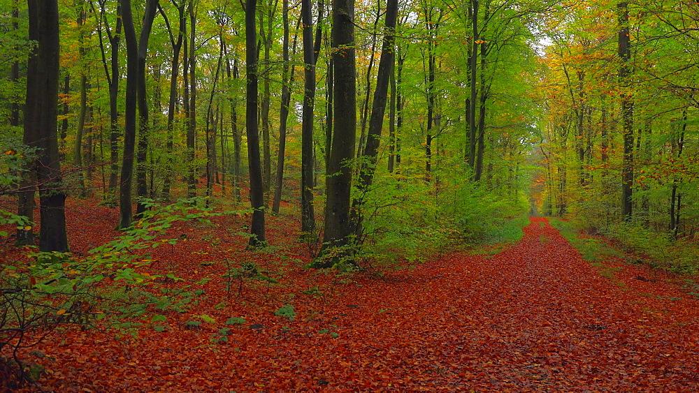 Forest track in beech forest, Freudenburg, Rhineland-Palatinate, Germany, Europe