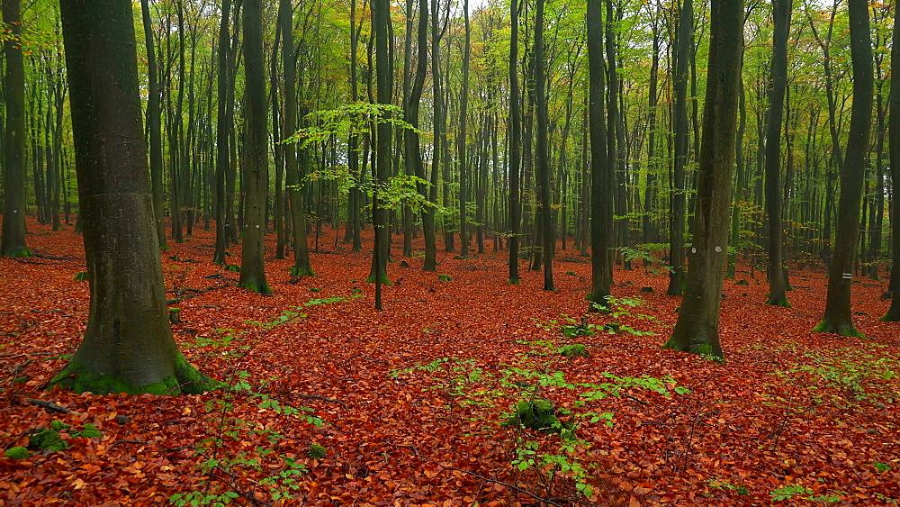 Autumn beech forest - 396-7826