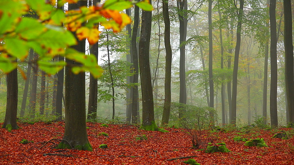 Fog in the autumn beech forest - 396-7827