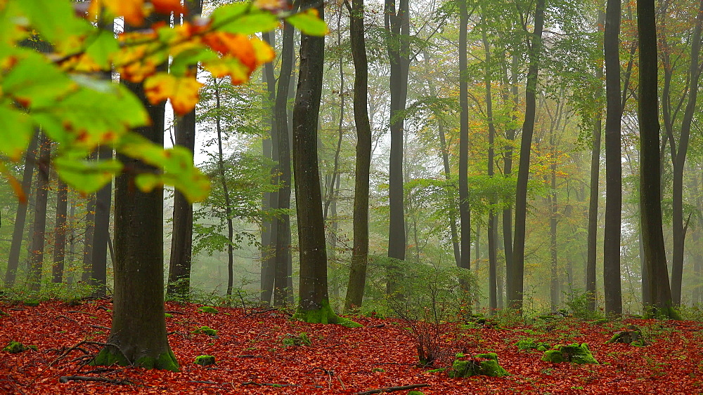 Fog in the autumn beech forest - 396-7828