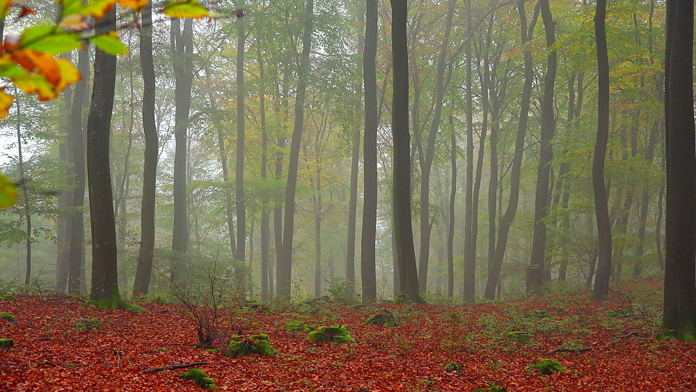 Fog in the autumn beech forest - 396-7829