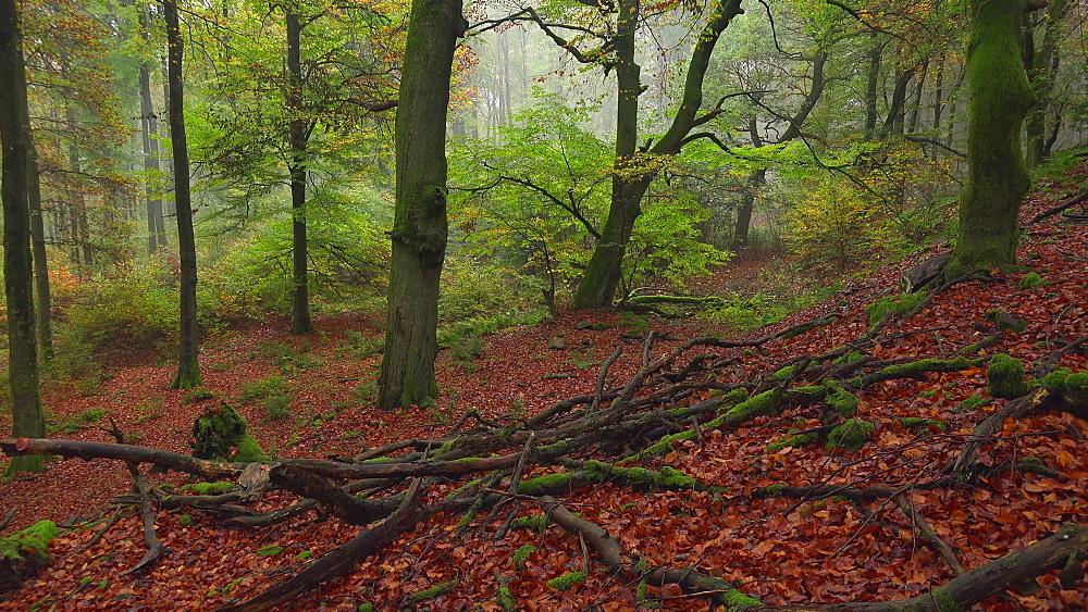 Dead wood in autumn beech forest - 396-7832