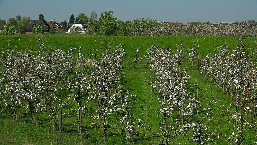 Blooming fruit trees near Luehe, Altes Land Region, Lower Saxony, Germany, Europe