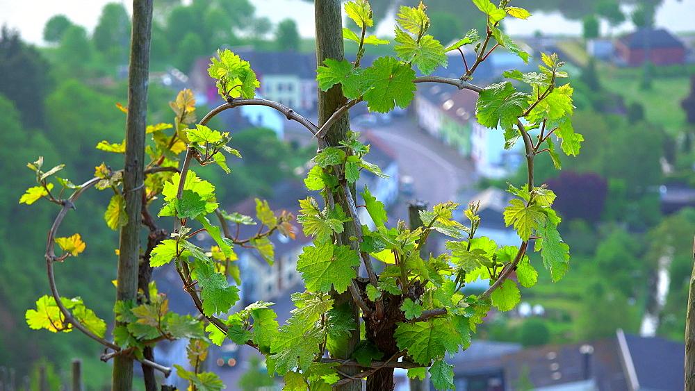 Vineyard in spring, Saarburg, Saar Valley, Rhineland-Palatinate, Germany, Europe