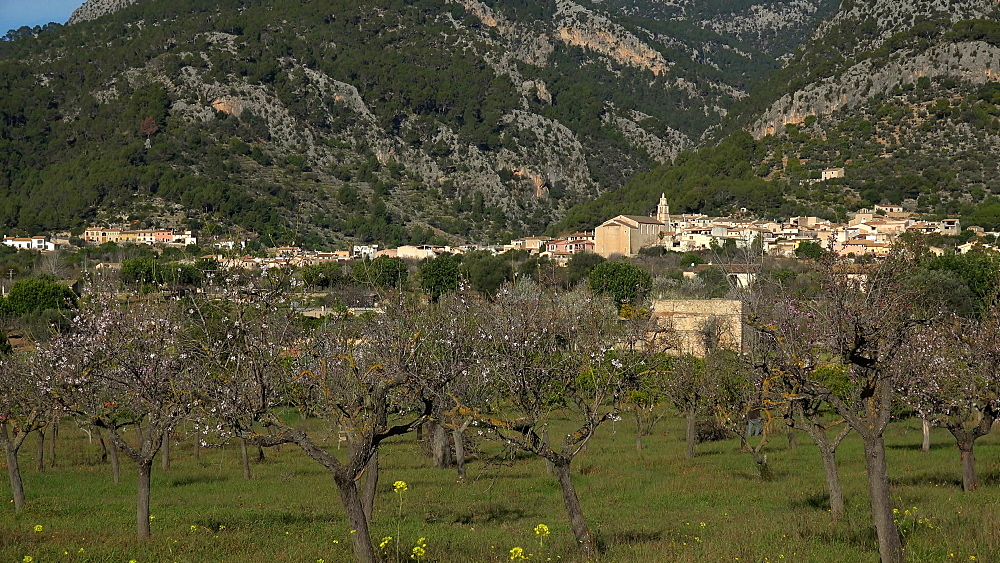 Blossoming of almond trees near Binibona, Majorca, Balearic Islands, Spain, Europe