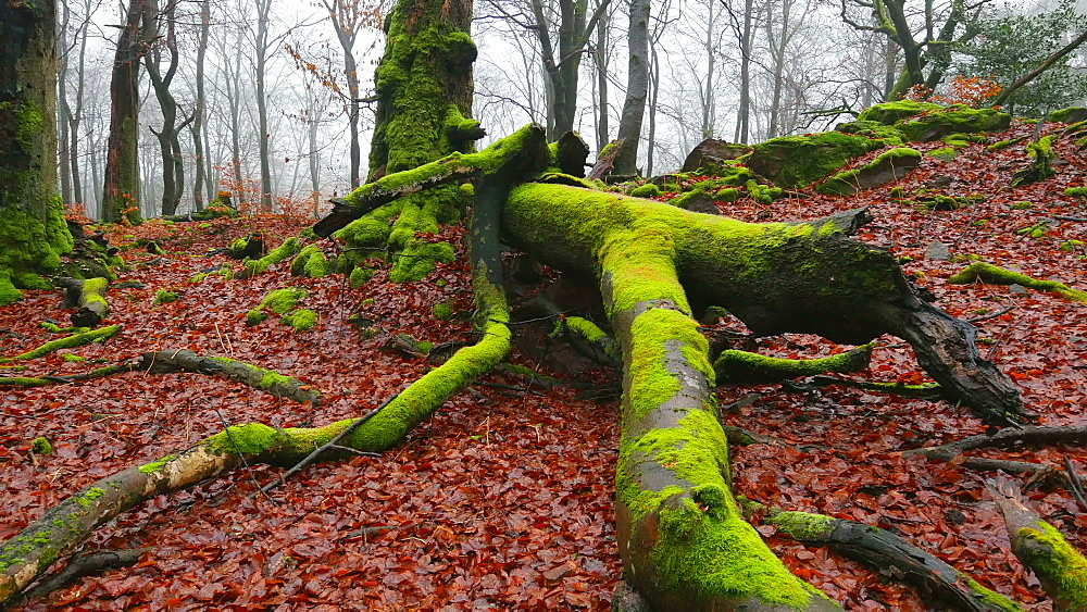 Dead wood and tree roots in a forest, Mount Maunert, Taben-Rodt, Saar Valley, Rhineland-Palatinate, Germany - 396-8212