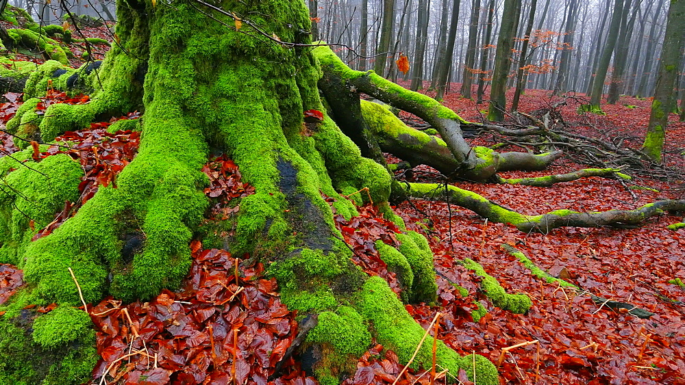 Dead wood and tree roots in a forest, Mount Maunert, Taben-Rodt, Saar Valley, Rhineland-Palatinate, Germany - 396-8214