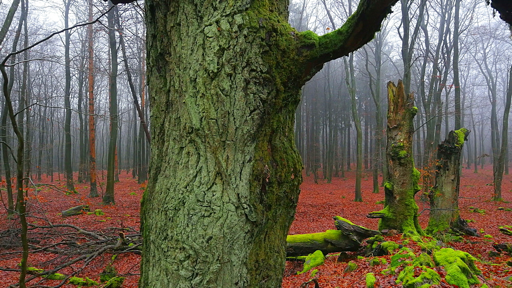 Dead wood and tree roots in a forest, Mount Maunert, Taben-Rodt, Saar Valley, Rhineland-Palatinate, Germany - 396-8217