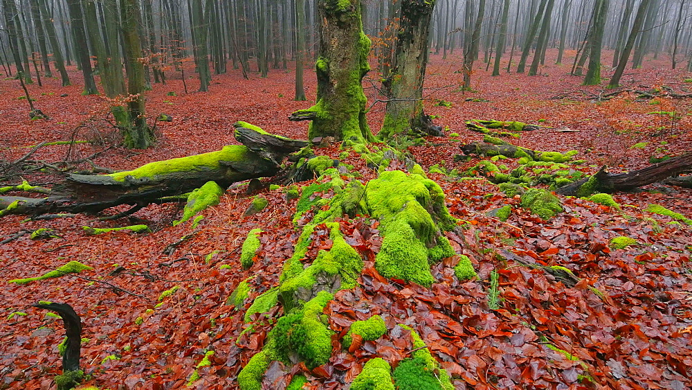 Dead wood and tree roots in a forest, Mount Maunert, Taben-Rodt, Saar Valley, Rhineland-Palatinate, Germany - 396-8218