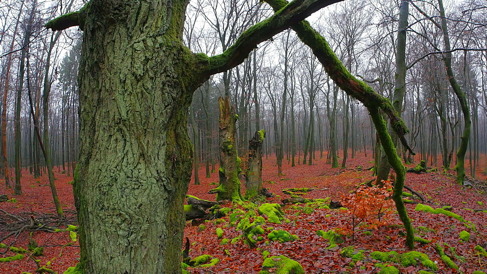 Dead wood and tree roots in a forest, Mount Maunert, Taben-Rodt, Saar Valley, Rhineland-Palatinate, Germany - 396-8223
