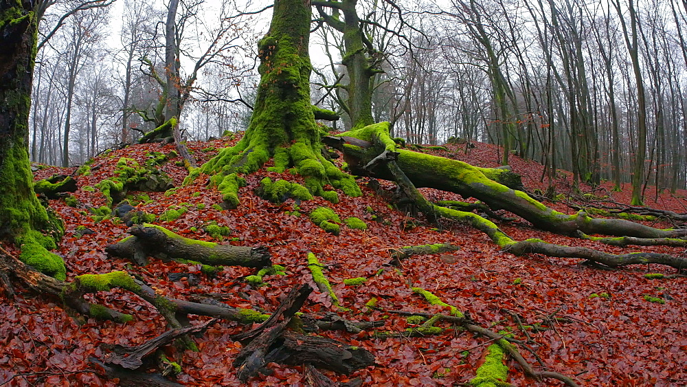 Dead wood and tree roots in a forest, Mount Maunert, Taben-Rodt, Saar Valley, Rhineland-Palatinate, Germany - 396-8224