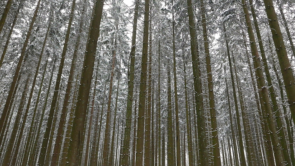 Snow covered conifer forest in winter, Serrig, Saar Valley, Rhineland-Palatinate, Germany - 396-8270