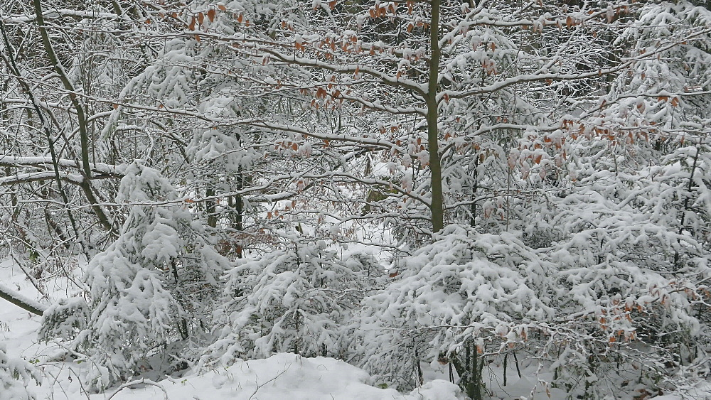Snow covered forest in winter, Serrig, Saar Valley, Rhineland-Palatinate, Germany - 396-8271