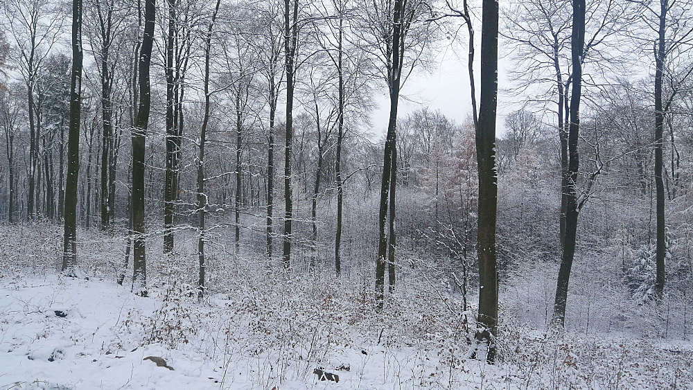 Snow covered forest in winter, Serrig, Saar Valley, Rhineland-Palatinate, Germany, Europe